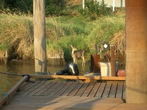 Deer St. Helens Marina -- Wildlife