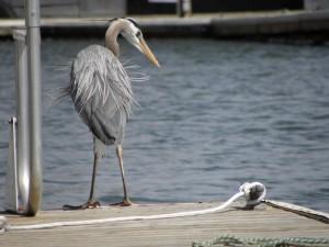 Heron - St. Helens Marina wildlife