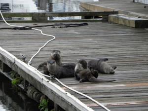River otters at St. Helens Marina - wildlife