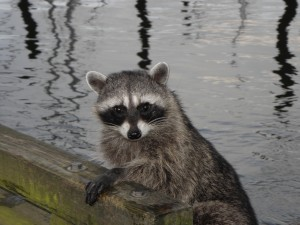 Raccoon at St. Helens Marina - wildlife