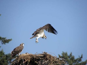 Osprey chicks learning to fly