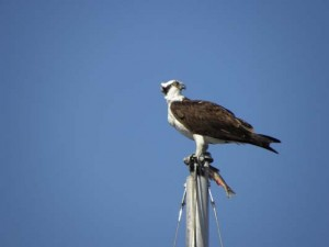 Osprey with fish atop a mast